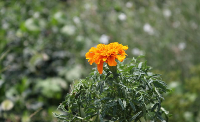 Marigold Flowers Pictures