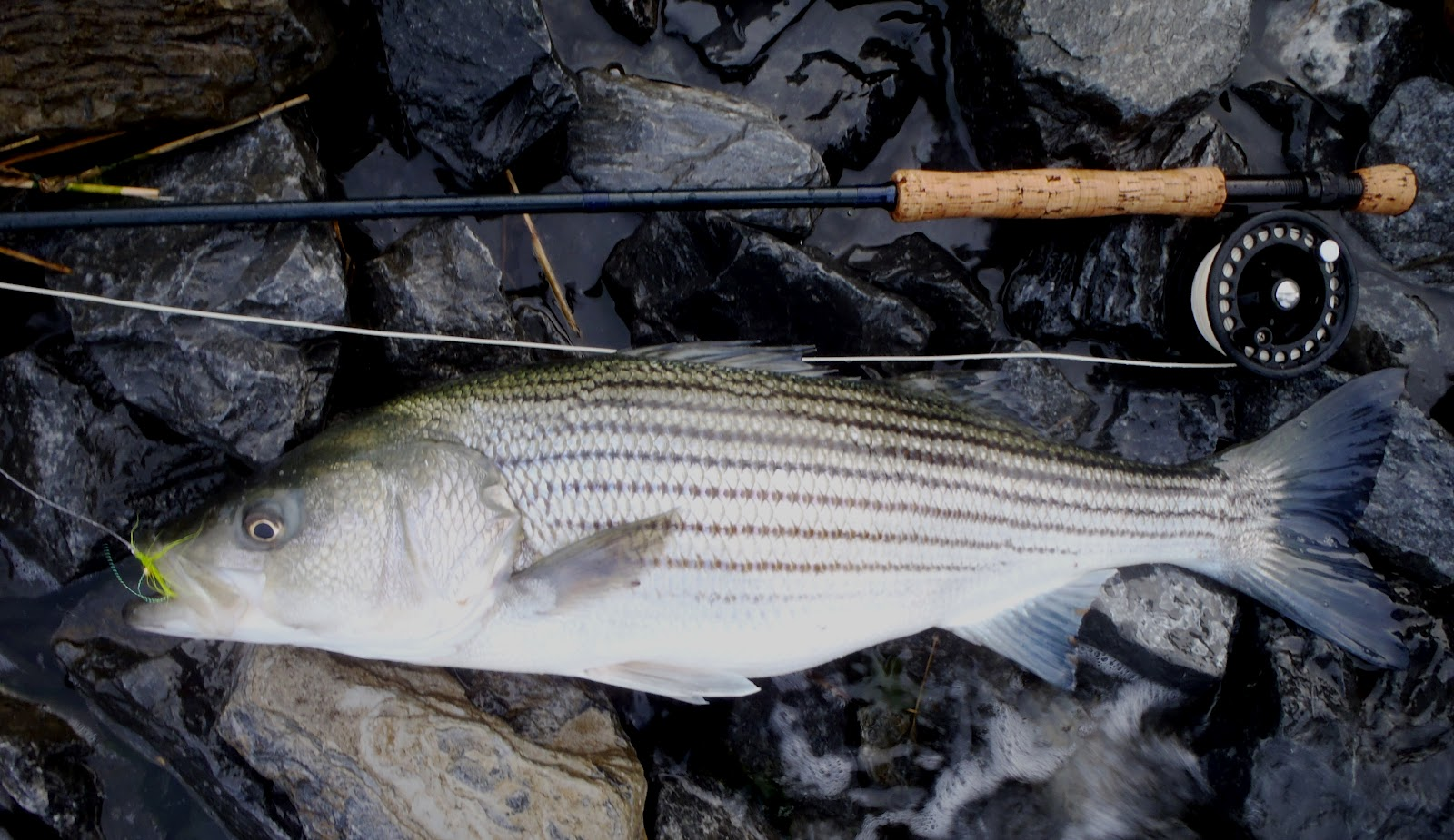 I fish new york the first striped bass of 2012 on the fly for Surf fishing for stripers