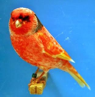 Foto Burung Kenari Border Jantan