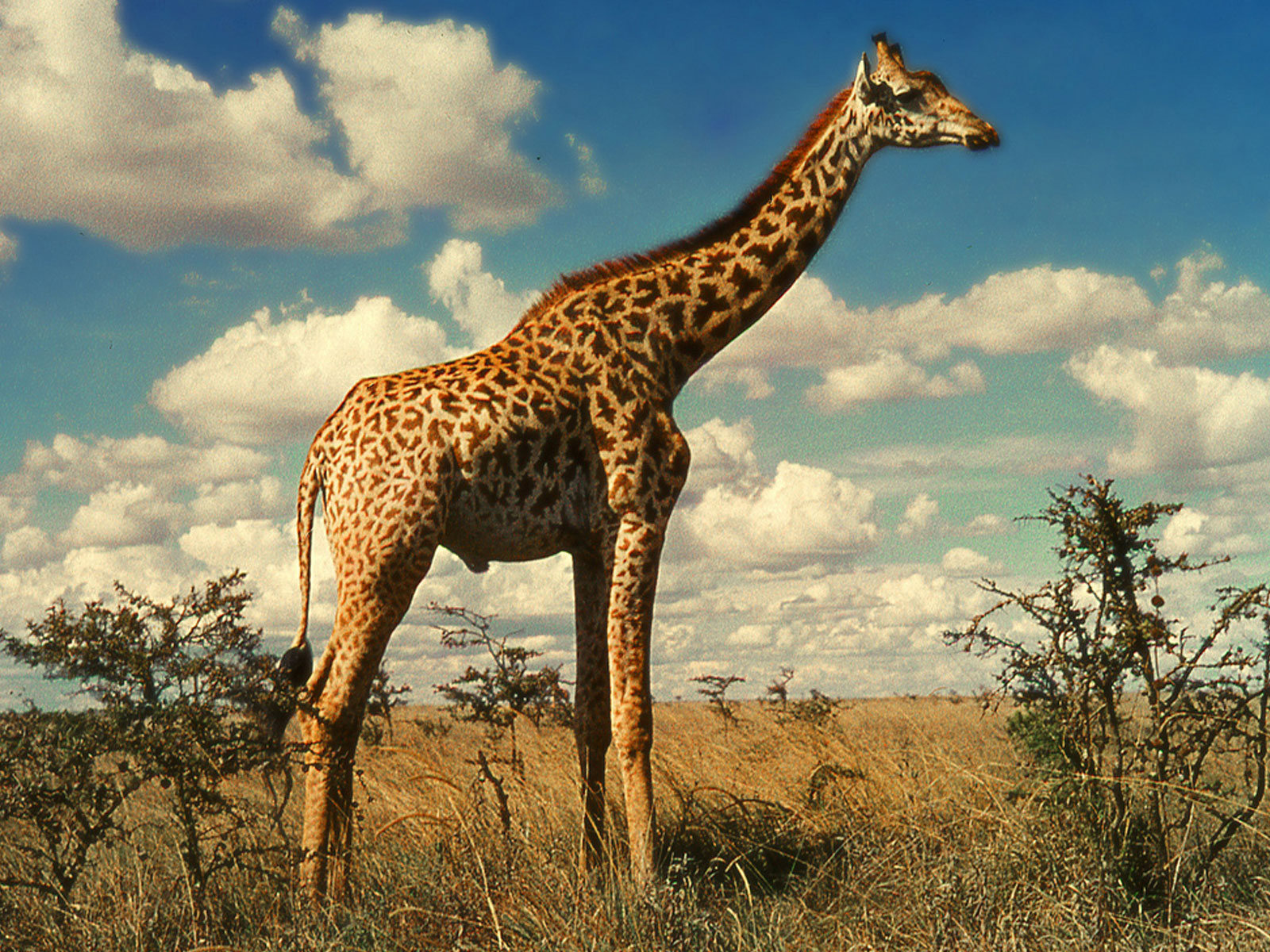 the giraffe The giraffe is a wiggles song from the furry tales album its music video appears on the wiggle house video emma: they're the world's tallest.