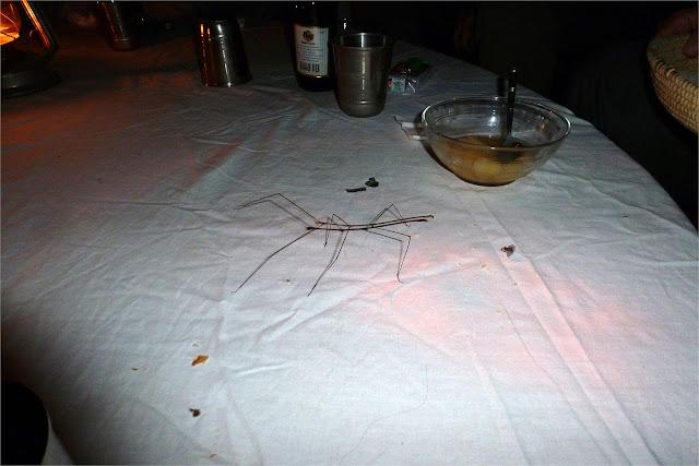 Insecto-palo en la mesa