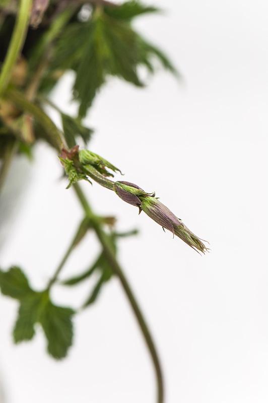 Humulus lupulus divji hmelj  cvet od blizu