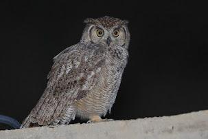 Arabian Spotted Eagle Owl (Bubo (africanus) milesi)