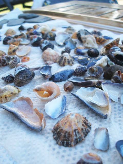 collection of shells found in rockpools at croyde in north devon