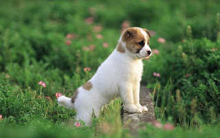 Puppy Wallpapers