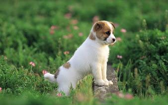 #3 Puppy Wallpaper