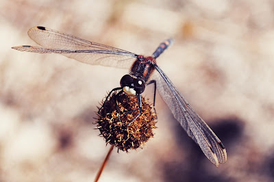 Dragonfly with Open Wings on Dry Plant