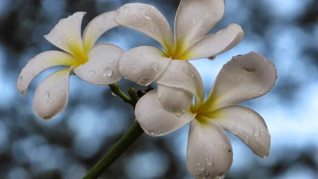 white kalachuchi plumeria flower