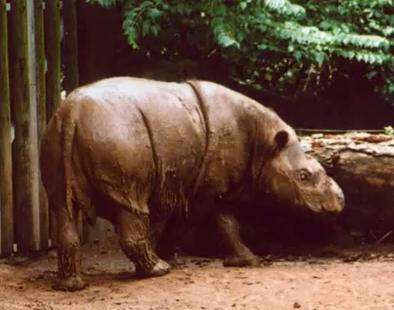 Informasi Tentang Badak Sumatera atau Badak Bercula Dua
