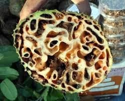 Sarang Semut Komposisi Obat Herbal AgaricTop