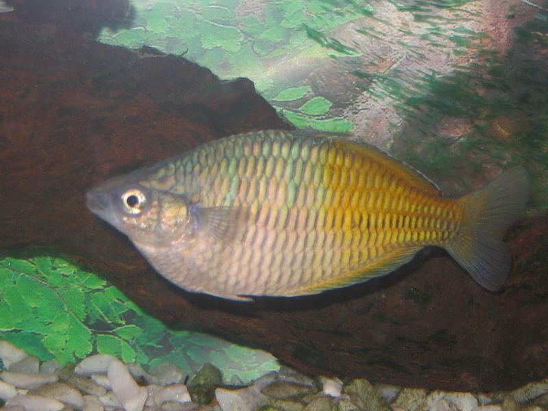 Lake Wanam Rainbowfish : Boesemans rainbowfish - Melanotaenia boesemani