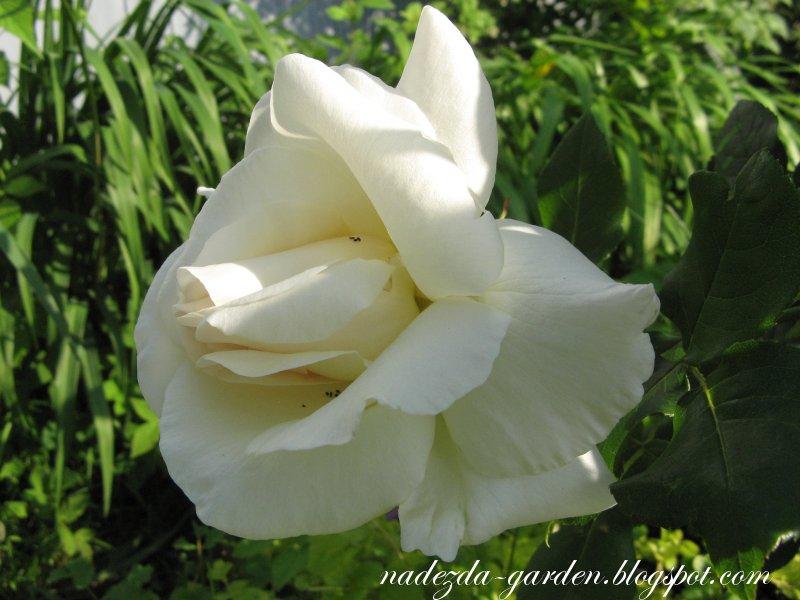 розы белые цветут слушать