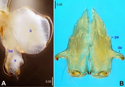 Nhen-spider-Belisana-denticulate-2
