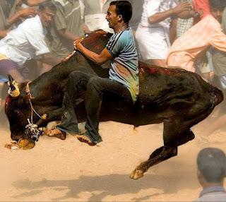 Matador Ala India yang Lebih Sadis dan Berbahaya