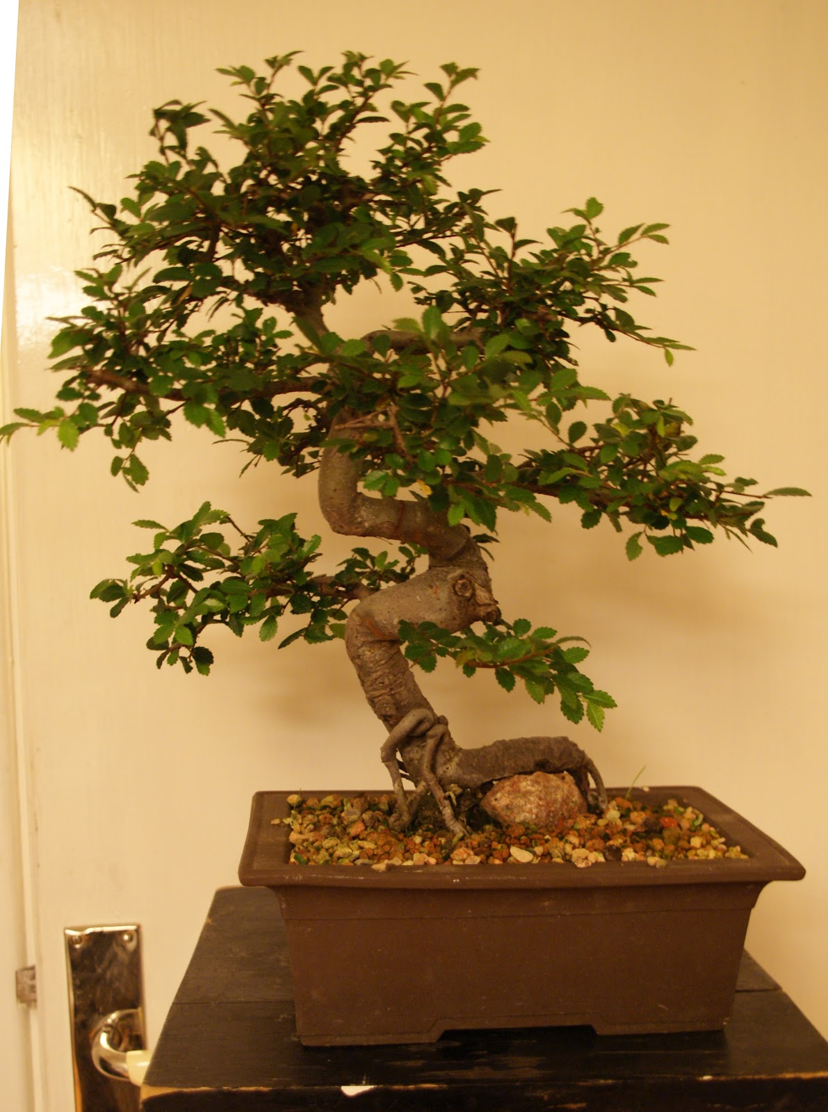 Claudio Estrada Chinesse Ulmus And Zelkova Zerrata