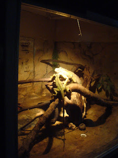 lizards in zoobic safari