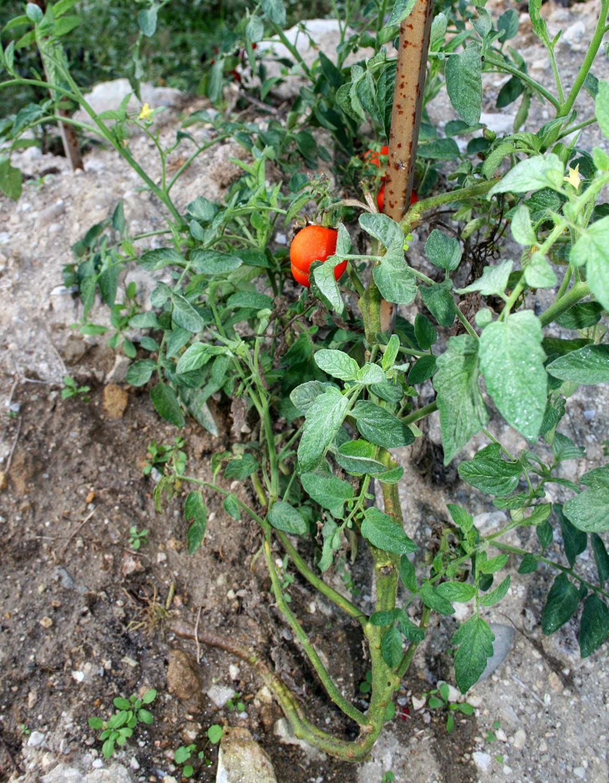 The surviving Tomato plant