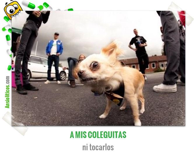 Chiste de Animales de Chihuahua Pandillero