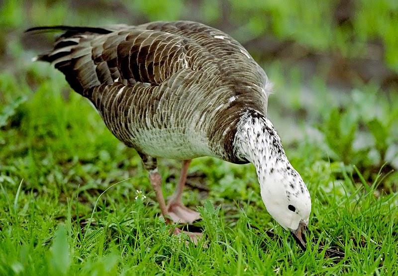 canada goose x wings