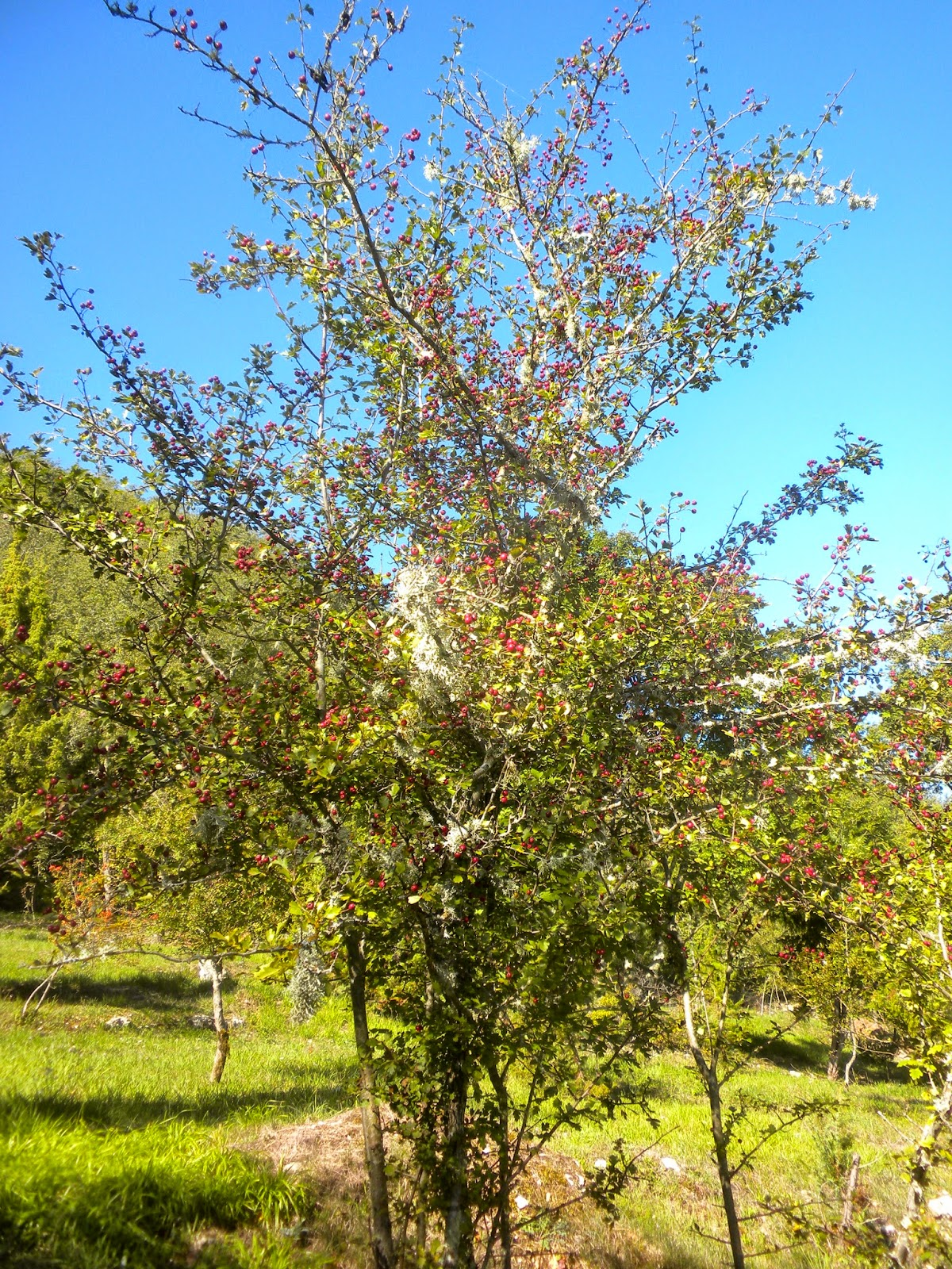 From A Tuscan Hillside The Thorn Tree And Its Associations