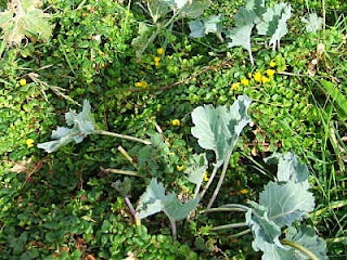 Creeping Jenny growing around sea kale in late summer