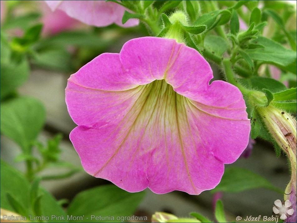 Petunia 'Limbo Pink Morn' - Petunia ogrodowa