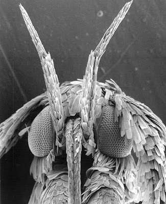 Microscopic view of Gracillariidae moth
