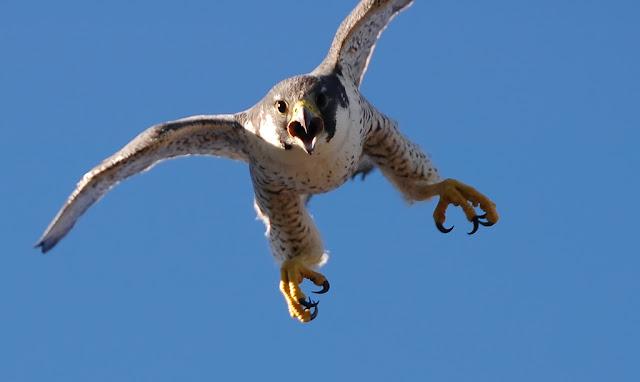 Peregrine Falcon Net
