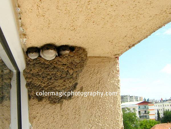Picture of House Martin nest with three baby birds