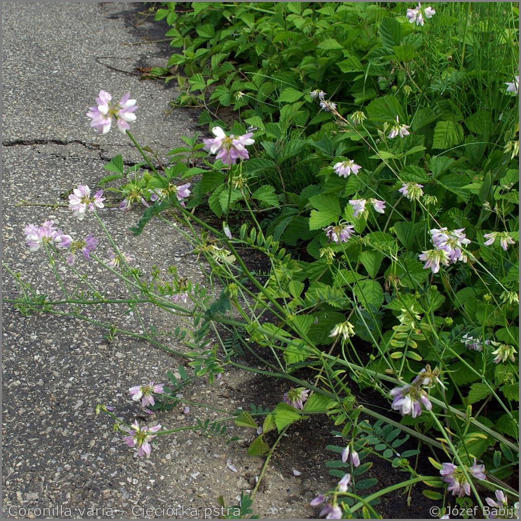 Coronilla varia Growth Habit of flowering plant  - Cieciorka pstra   pokrój kwitnącej rośliny