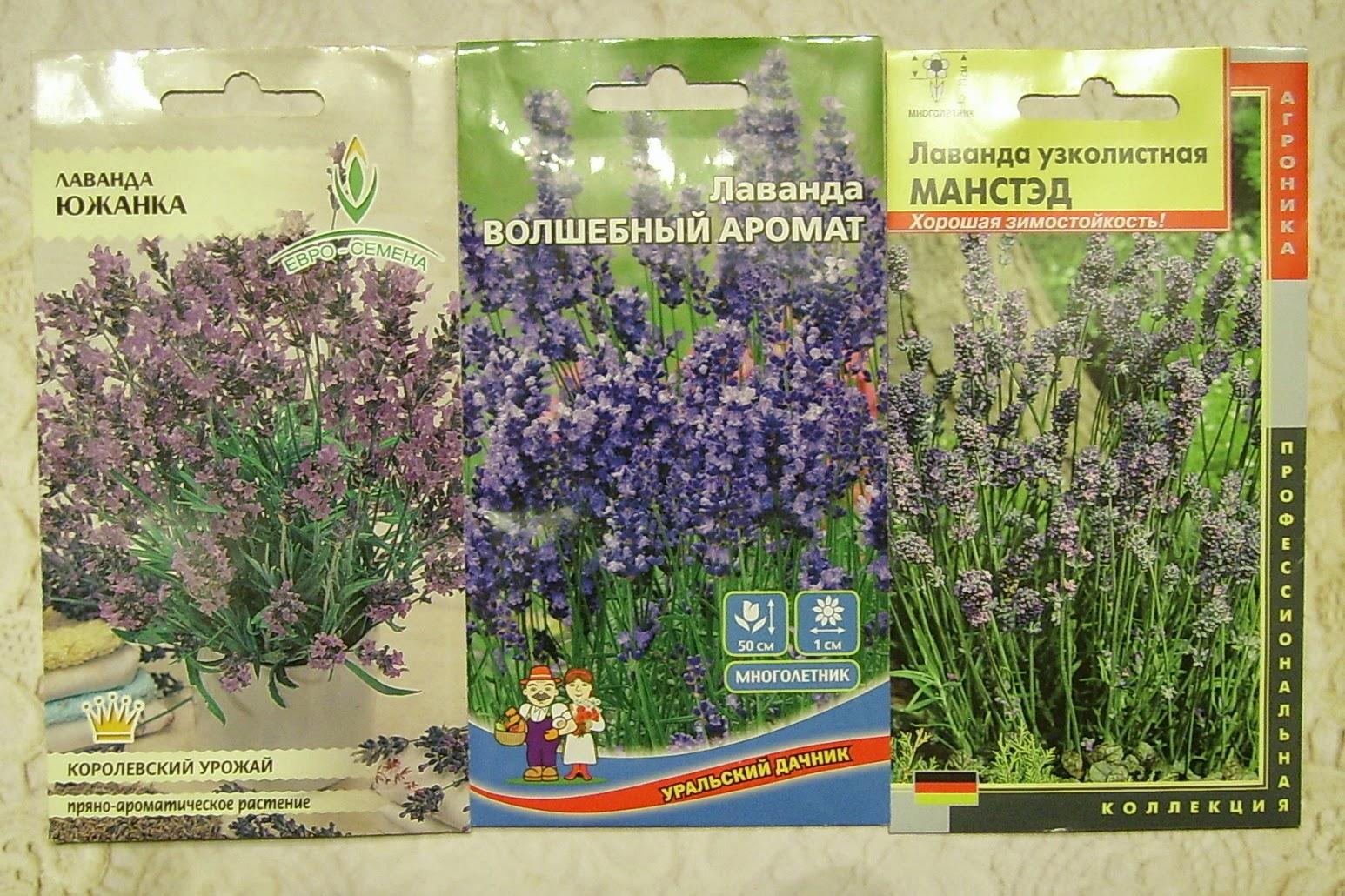 Лаванда посадка и уход, выращивание из семян 7