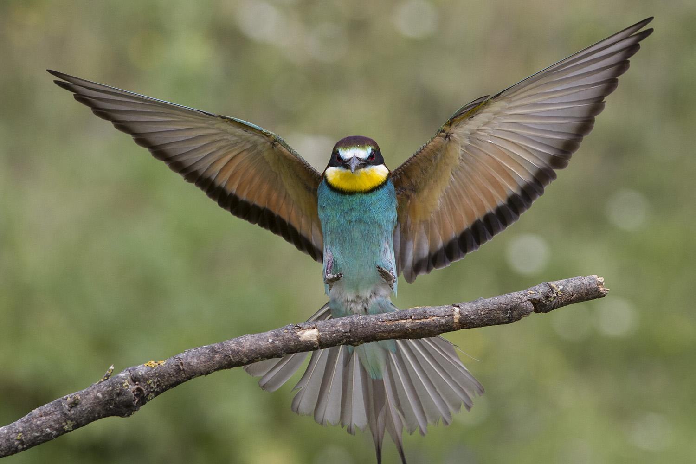 Hide Abejarucos (Merops apiaster), Bee-eater