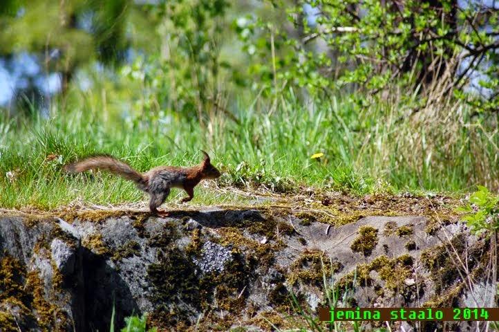 Orava ja sen hyppy