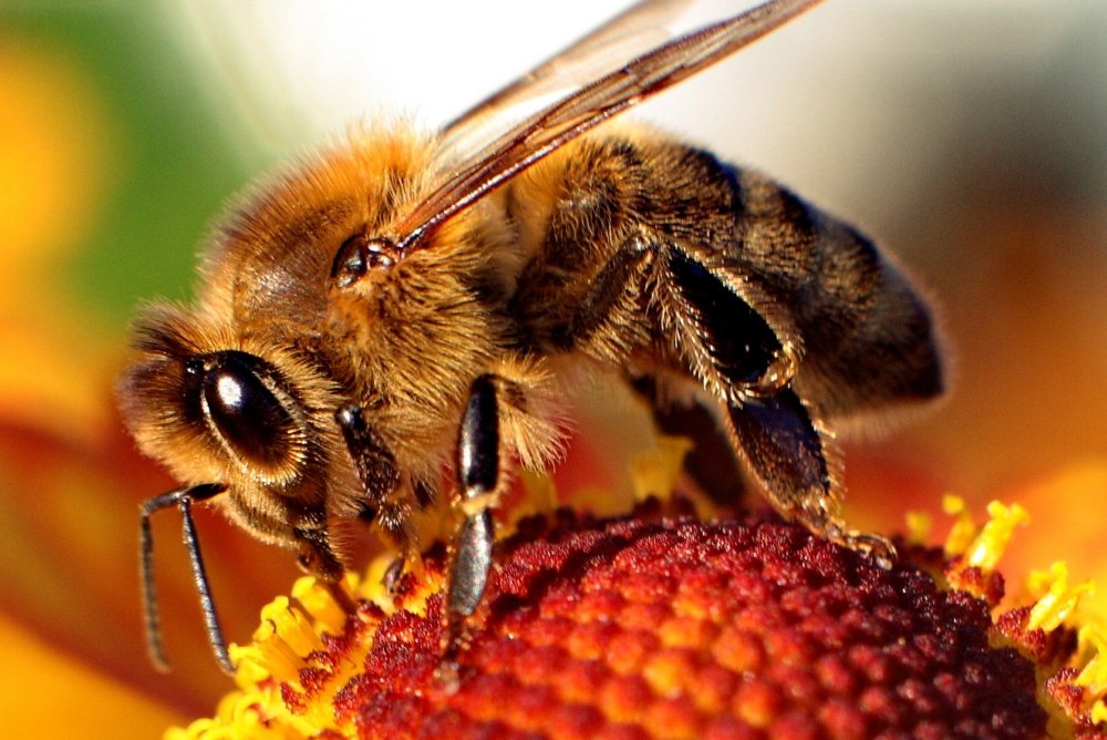 Bee Venom Destroys Human Immunodeficiency Virus (HIV)