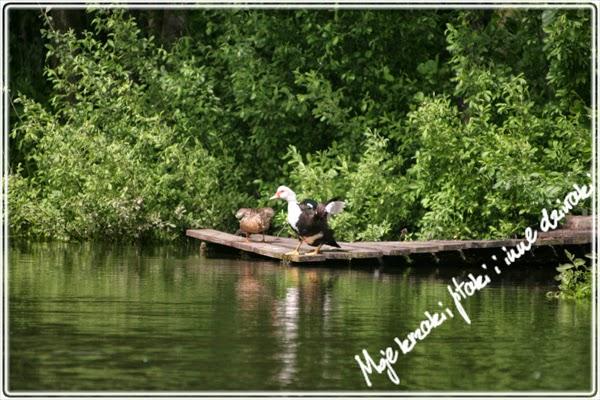 Taniec godowy kaczek
