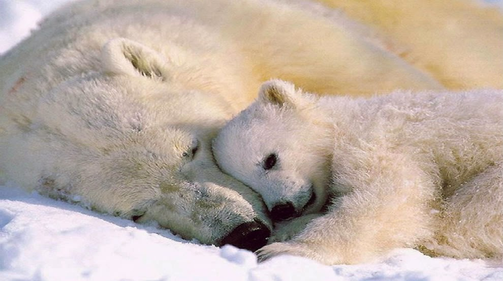 White Wolf : 17 Beautiful Photos of Animal Moms With Their ...