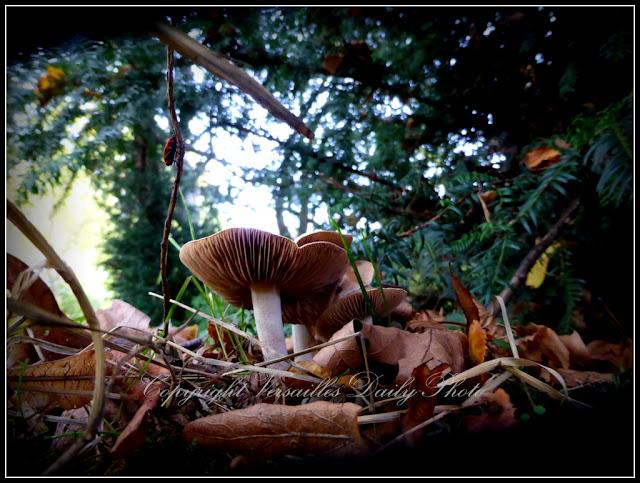 Champignons mushrooms Domaine de Mme Elisabeth Versailles