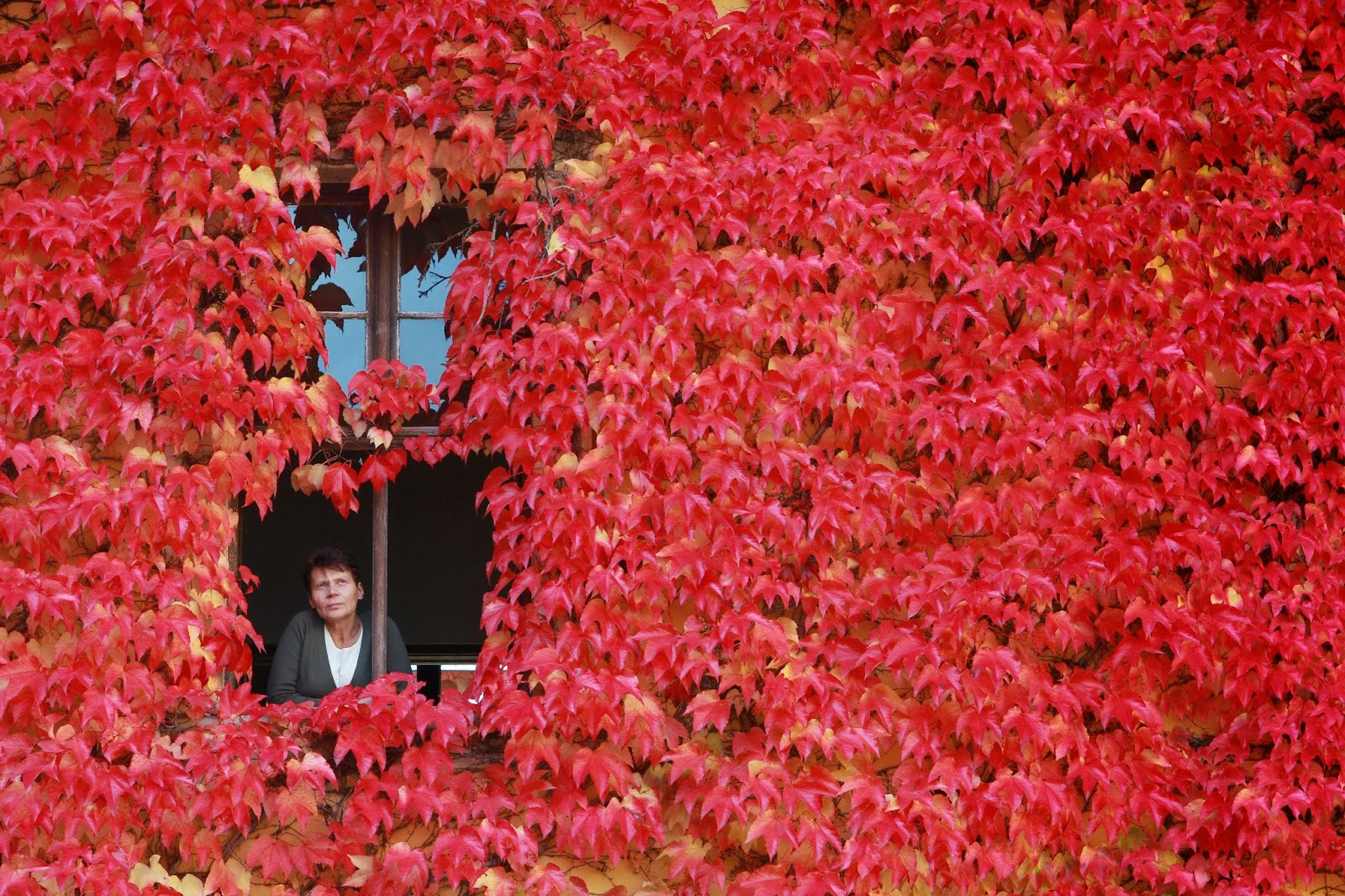 Agriculture, Ballenstedt, Color, Germany, House, House Covered, Leaves, Lifestyle, Plant, Temperature, Weather, Window, Women,