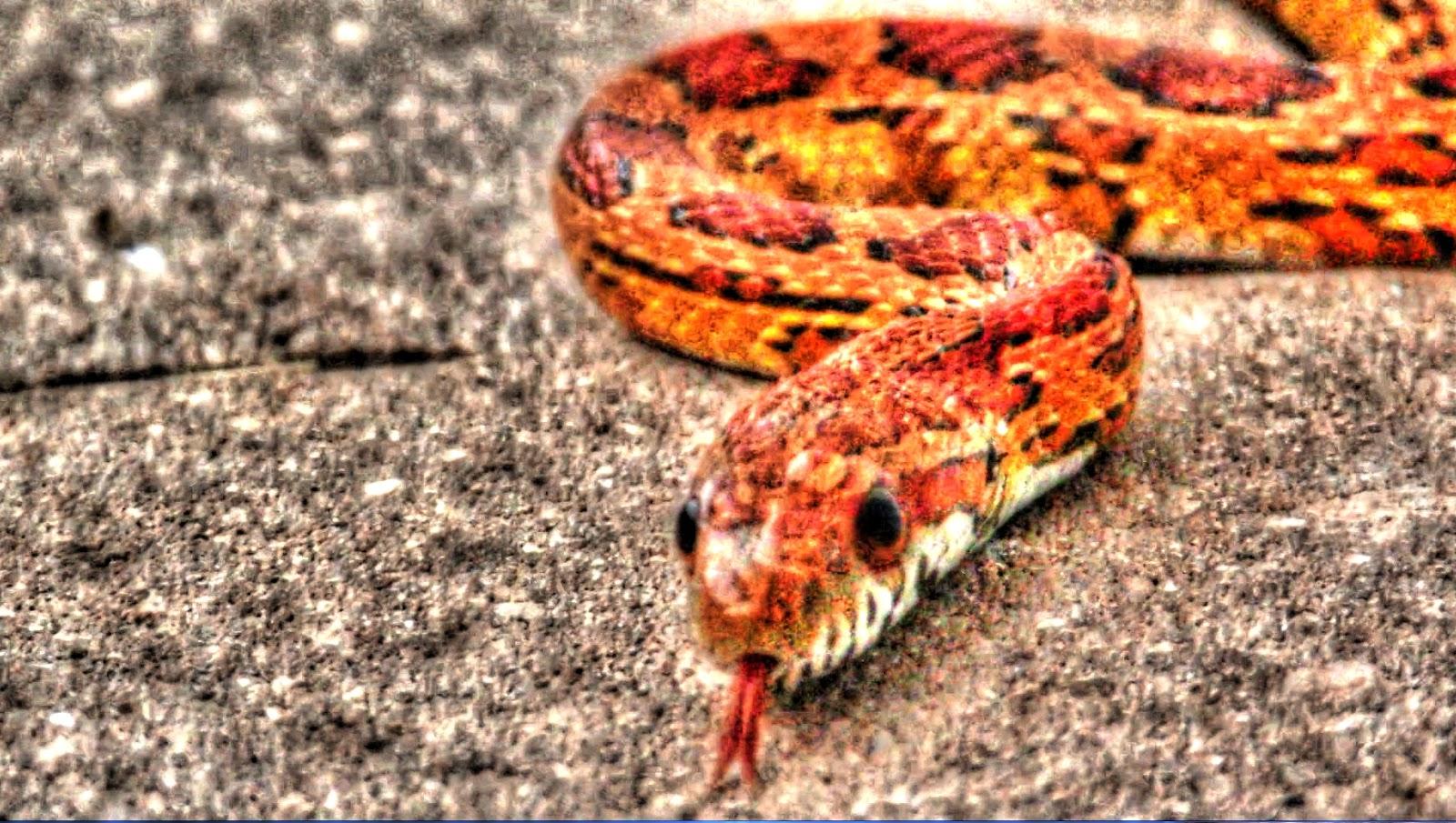 backyard birding and nature wild florida corn snake behaviour