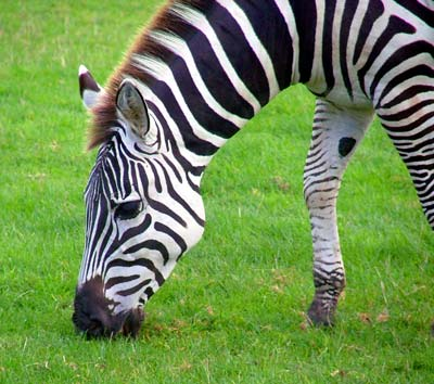 Cute zebra picturesCool zebra picturesColorful zebra picturesBaby zebra