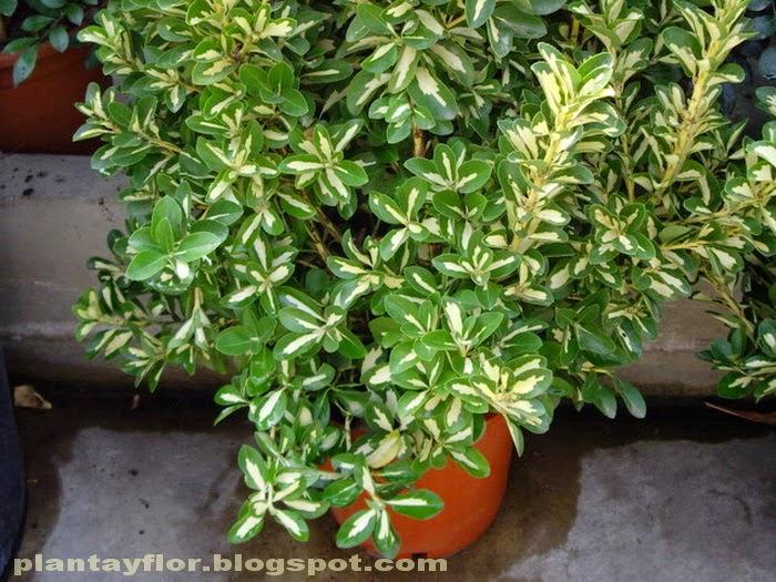 Plantas y flores euonymus fortunei for Arbustos enanos para jardin