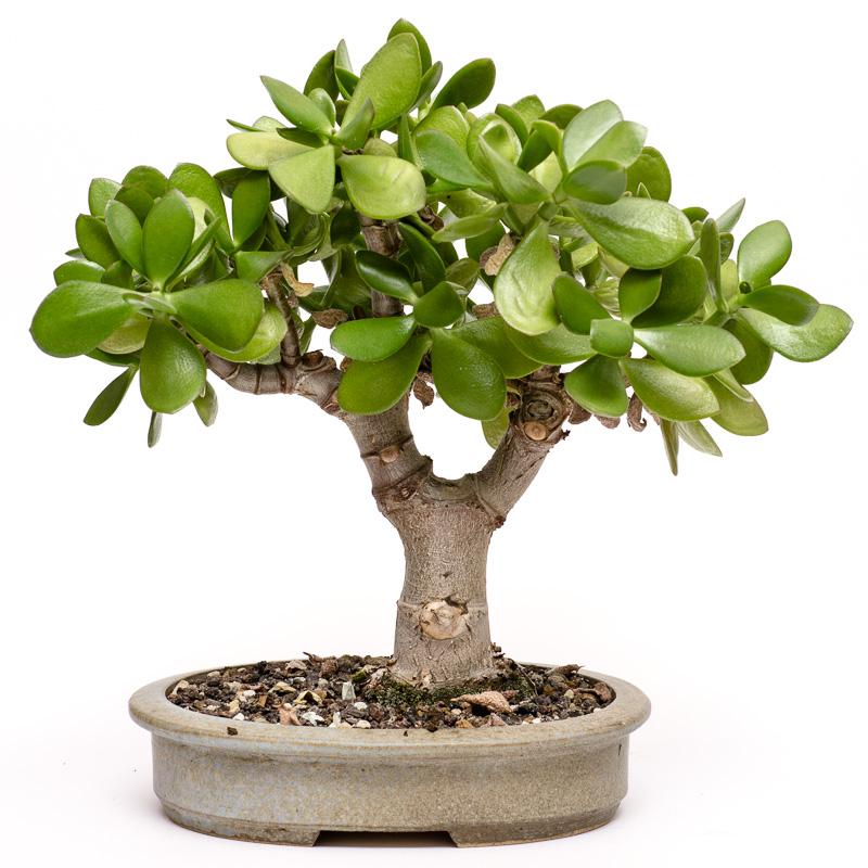 plantas suculentas e folhagens ornamentais crassula ovata crassulaceae. Black Bedroom Furniture Sets. Home Design Ideas