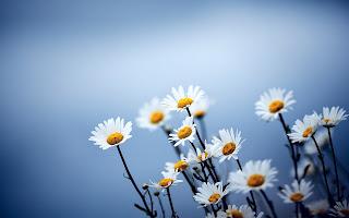 Amazing Daises Flowers HD Wallpaper