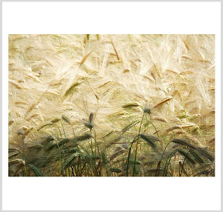 ears of corn photo, ears of corn art, cornfield art, laura hol art, golden ears