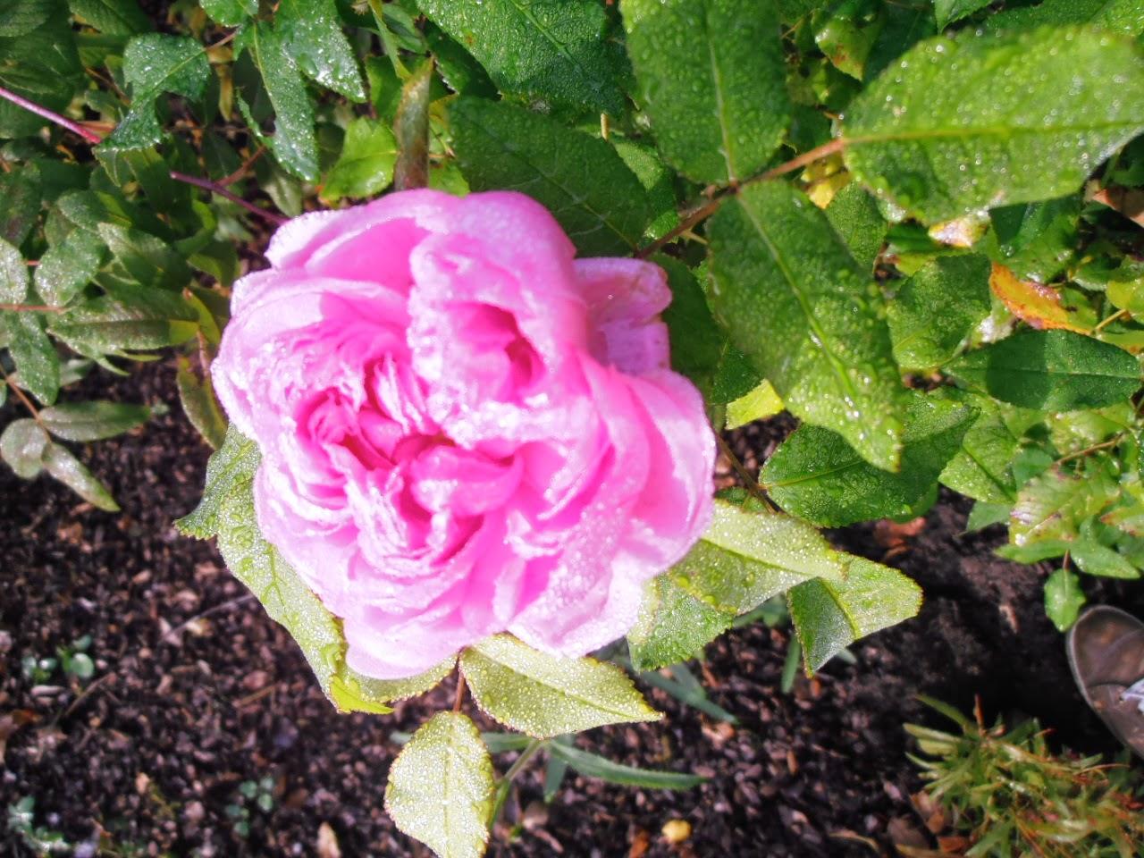 eine letzte Rosenblüte