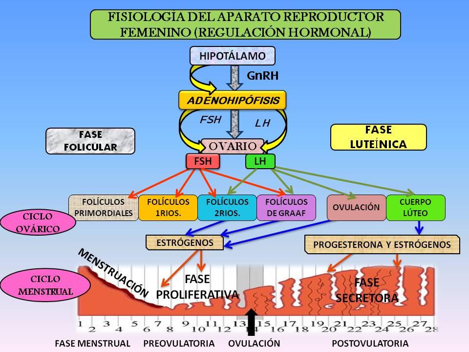 Blog de Ginecología: Fisiología aparato reproductor femenino (ciclo ...