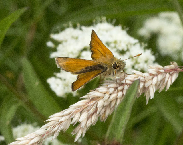 Small Skipper, Thymelicus sylvestris.  Jubilee Country Park butterfly walk, 15 July 2012.