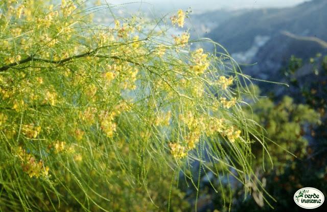 Parkinsonia aculeata un piccolo albero dalla chioma dorata - Alberi bassi da giardino ...