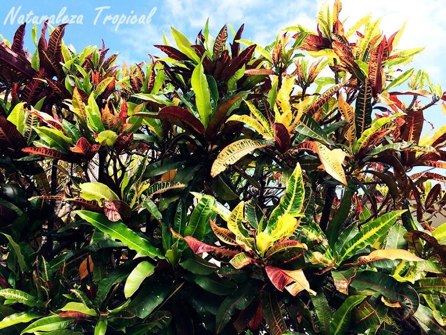 Los famosos Croton, género Codiaeum
