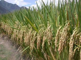 budidaya padi organik